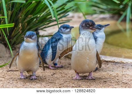 Little Blue Penguin in wildlife park Australia