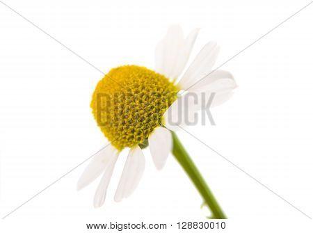 Medical Chamomile isolated on white backgroundr, fragment, fresh,