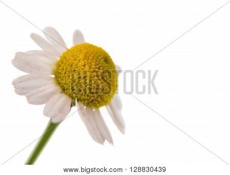 Medical Chamomile isolated on white background  botany, calm, care,