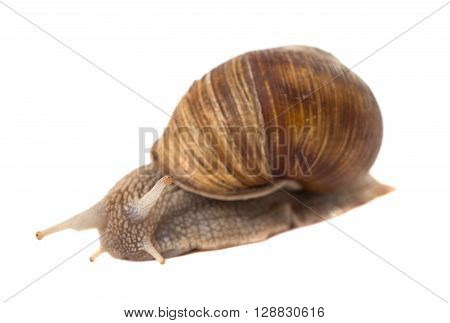 Funny snail isolated on white background gooey, animal, slow