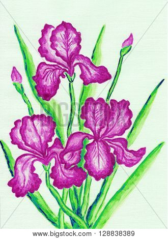 three pink irises hand painted picture watercolours.