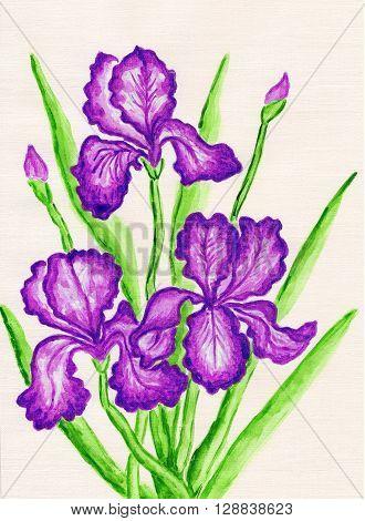 three purple irises hand painted picture watercolours.