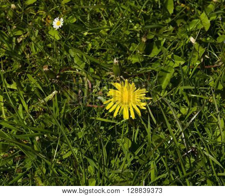 Dandelion and daisy flowers in green grass. Summer nature wallpaper