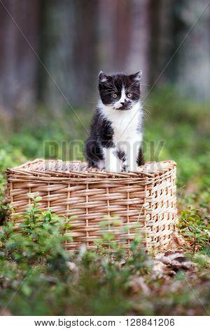 british shorthair kitten posing outdoors on a basket