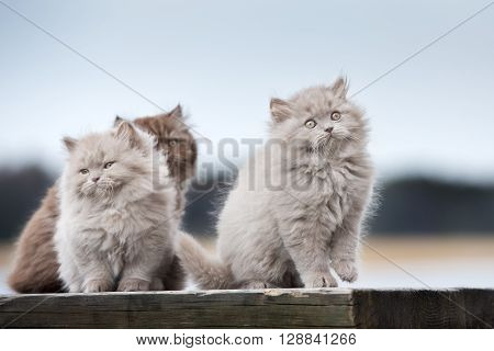 three adorable british longhair kittens outdoors together