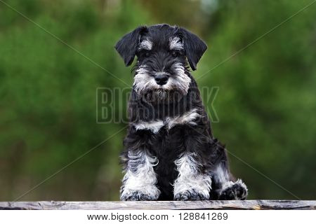 miniature schnauzer puppy posing outdoors in summer
