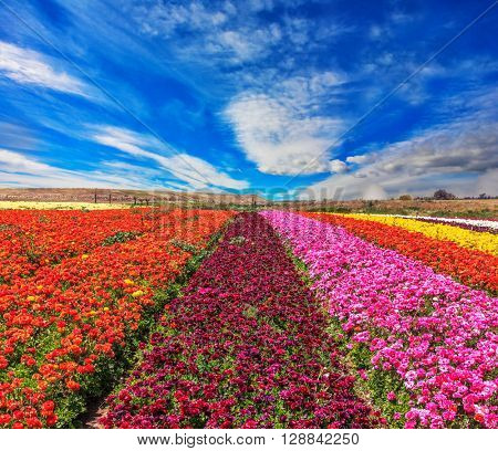 Magnificent kibbutz field with blossoming buttercups  - ranunculus of different colors. Spring flowering buttercups
