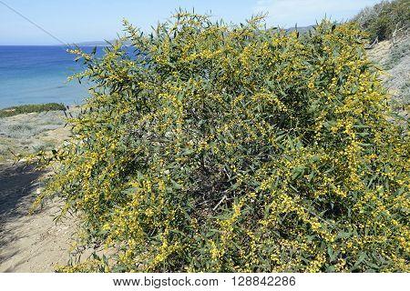 Golden Wattle - Acacia pycnantha Lara Bay Cyprus