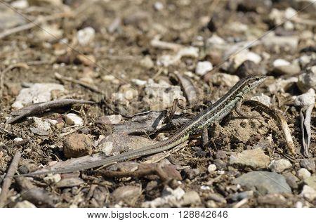 Snake-eyed Lacertid - Ophisops elegans Common Lizard in Cyprus