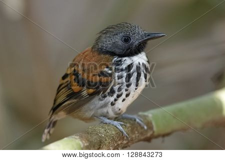 Spotted Antbird Perched On A Branch