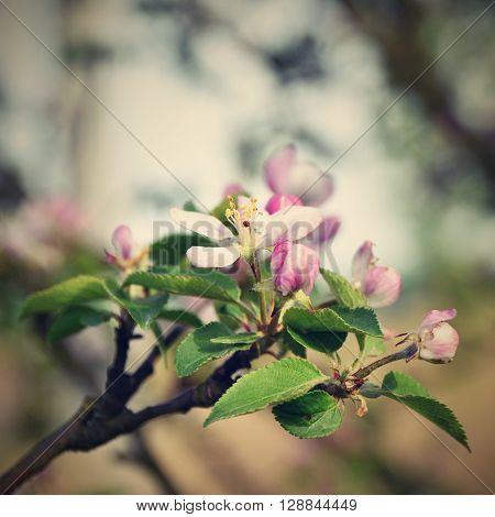 Beautiful spring flowering tree. Springtime nature backgroung.
