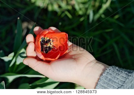 Blossoming red tulip flower outdoor child's hand
