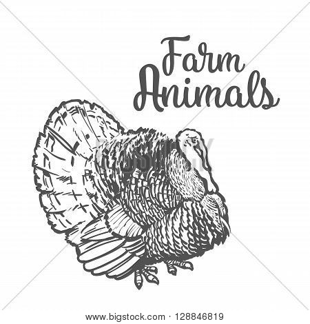 One feathered turkey bird, sketch style hand-drawn, farm animal home winged bird feathered turkey with white tail, one on a white background, realistic sketch turkey products for food