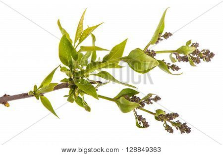 Branch With Unblown Lilac Isolated On White Background