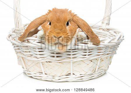 Adorable red domestic lop-eared rabbit sitting in basket. Isolated over white background. Copy space.