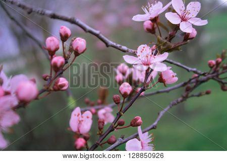 Rosa Knospen und Blüten an einem Baum
