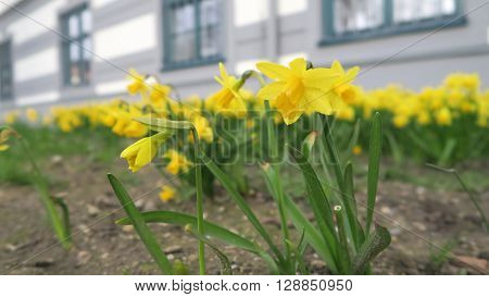 Gelbe Blumen, Osterglocken, vor einem grauen Gebäude