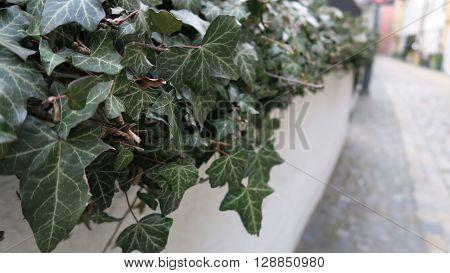 Efeuranken auf einer Mauer entlang einer Straße