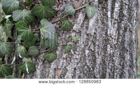 Efeuranken auf einem Baum bzw Rinde eines Baumes