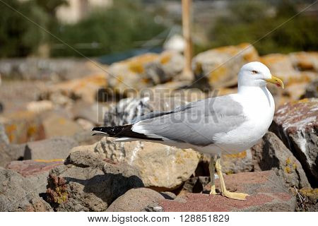 Yellow-legged gull.Yellow- Legged Sea Gull Standing On A Rock