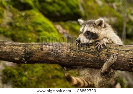 A baby raccoon climbing on a fallen branch in the woods.