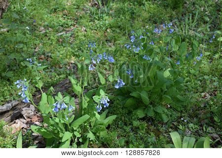 a row of wild bluebell flower growing in the wild.