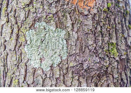 Tree Bark With Colorful Lichens
