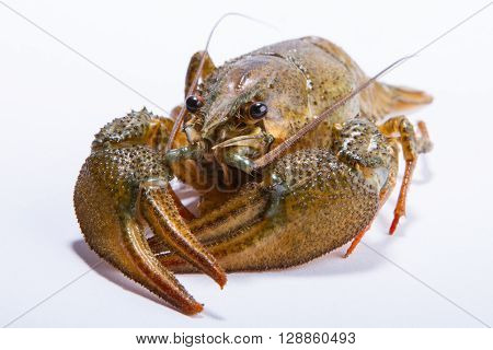 Crayfish on a white background. Crayfish isolated on white
