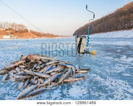 Catch fisherman fish on ice. Winter fishing caught a fish on the ice. A lot of fish on ice