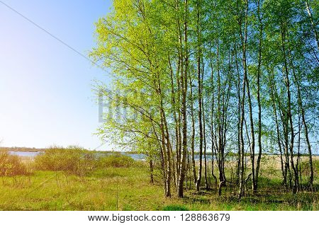 Spring colored landscape - small birch forest near the Volkhov river in spring nice sunny weather. Spring countryside landscape.
