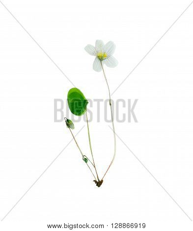 Pressed and dried delicate flower oxalis. Isolated on white background.