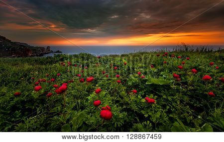Beautiful field of rock peonies! Red peonies!
