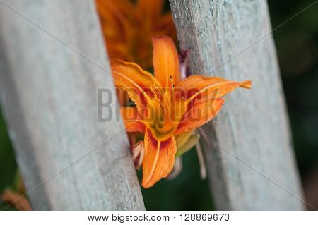 Garden orange lily. Orange lily. Blossoming of a lily. Gray garden fence.
