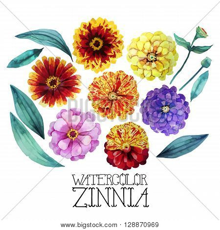 Watercolor zinnia set. Vector floral design element isolated on white background