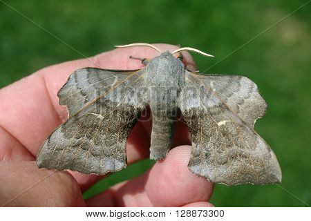 Poplar hawk moth (Laothoe populi) on a hand to show scale with blurred grass lawn in the background.