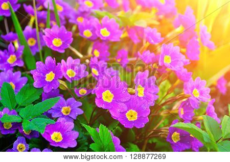 Blossom of spring flowers - Primula juliae also known as Julias primrose or purple primrose under warm sunlight. Spring closeup floral landscape natural floral background.