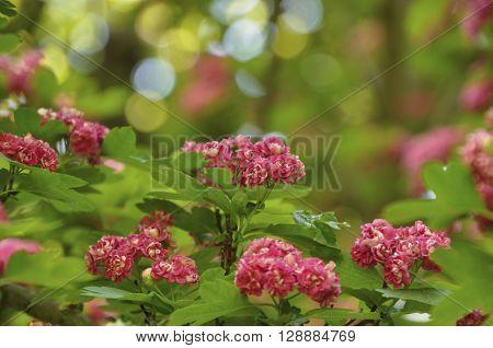 branch of flowering hawthorn rose on bokeh background toning