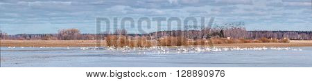 Panorama with migratory birds in the spring cloudy day.