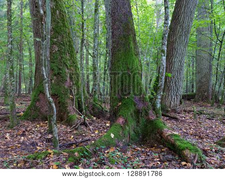 Old oaks moss wrapped in fall among juvenile stand of Bialoweza Forest, Bialowieza Forest, Poland, Europe