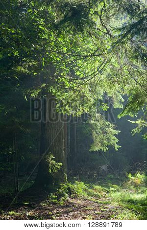 Path crossing old forest illuminated by morning sun against dark background Bialowieza Forest, Poland, Europe