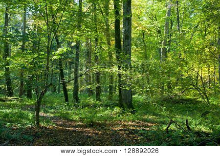 Natural deciduous stand of Bialowieza Forest with old hornbeam trees in sunny fall day Bialowieza Forest, Poland, Europe