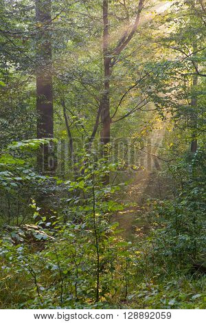 Trees in a soft early morning light deciduous stand of Bialowieza Forest, Poland, Europe