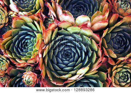 A colorful collection of Sempervivum with personality