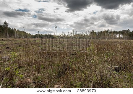 Pine forest being cut down turning into dry lifeless field.