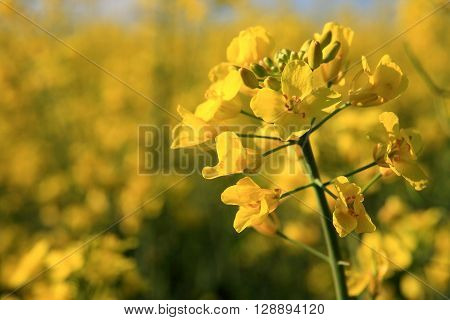 Rapeseed field on a windy spring day
