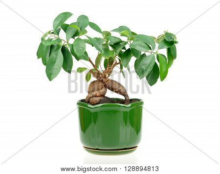 Bonsai Ficus In Flower Pot Isolated On White Background