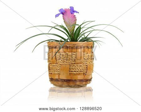 Tillandsia bluish in plant pot isolated on white backgound