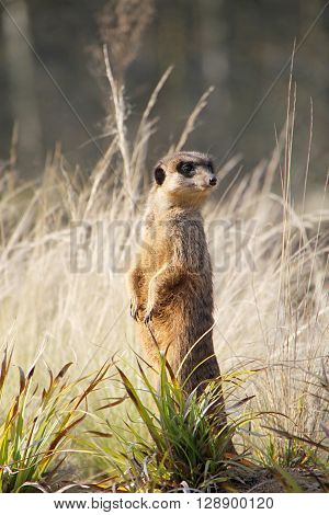 A meerkat standing in the grass and on the lookout