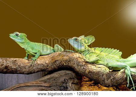 Beautiful close up photo of lizard Plumed basilisk