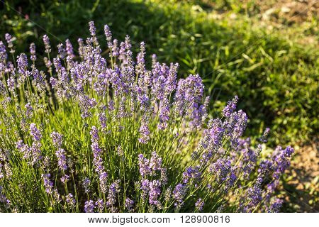Closeup of fresh spring lavander flowers in the day